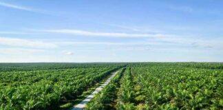 L'huile de palme, cotée à Kuala Lumpur en Malaisie, connaît un déclin